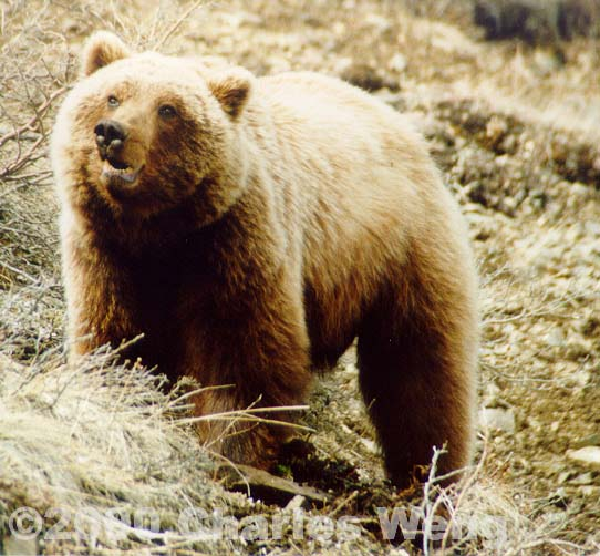Grizzly01.JPG (202250 bytes)